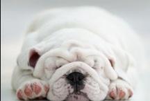 Pets / Bulldogs, dogs, wild animals! / by Lisa Medina