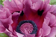 Oh how I love poppies..... / by Kelly Goebel