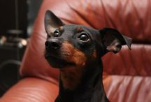 Miniature Pinscher | Min Pin / Mini Pinscher or Min Pin (Zwergpinscher) also known as the king of toy size dogs. Gallery with various photos from around the world. Enjoy.