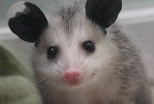 Fluffy opossums! Too cute!