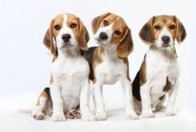 {GROUP} Beagles - Best Dog Breed Ever!