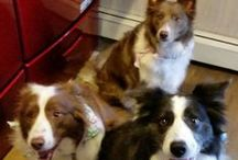{GROUP} Border Collies - Best Dog Breed Ever! / Group board for Border Collies. Pin your best: 1 or 2 pins per person per day MAX. NO rescue dogs. NO breeders. NO Etsy or other blatantly commercial pins.