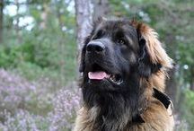 {GROUP} Leonbergers - Best Dog Breed Ever! / The Leonberger is a HUGE dog but deserves its nicknames 'Gentle Giant' or 'Gentle Lion'. The name and breed are derived from Leonberg in Baden-Württemberg, Germany. Leos today are descendants of just eight dogs that survived WW1 & WW2. More: http://en.wikipedia.org/wiki/Leonberger / by We Love Dogs ♥ Guide Dogs Worldwide ♥