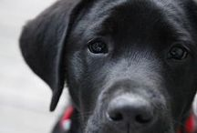 {GROUP} Labradors - Best Dog Breed Ever! / We'd be delighted if you would share a few of your fav. Lab pics! Commercial Accounts are welcome to pin too, but no pics of products or services please. Spammers will be deleted (and reported to Pinterest). If you own the dog (and copyright to the image/video), you may want to mention this (in case image libraries and animal talent scouts are browsing ...) Share the Lab love. http://en.wikipedia.org/wiki/Labrador_Retriever / by We Love Dogs ♥ Guide Dogs Worldwide ♥