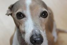 {GROUP} Italian Greyhounds - Best Dog Breed Ever!