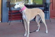 {GROUP} Greyhounds - Best Dog Breed Ever!