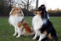 Shetland Sheepdogs - Best Dog Breed Ever!