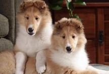 {GROUP} Rough Collies (aka Lassie) -  Best Dog Breed Ever! / by We Love Dogs ♥ Guide Dogs Worldwide ♥