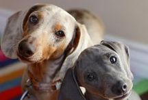 {GROUP} Dachshunds - Best Dog Breed Ever!