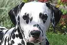 {GROUP} Dalmatians - Best Dog Breed Ever! / The Dalmatian breed may originate in Dalmatia (Croatia) but this has not been firmly established. More: http://en.wikipedia.org/wiki/Dalmatian_(dog)#Origins