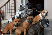 {GROUP} Staffies - Best Dogs Ever! / Group board for Staffies. Pin your best: 1 or 2 pins per person per day MAX. NO rescue dogs. NO breeders. NO Etsy or other blatantly commercial pins http://en.wikipedia.org/wiki/Staffordshire_Bull_Terrier Staffie, Stafford, Staffy or Staff, SBT, Staffy Bull Staffordshire Bull Terrier