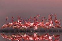 Peacocks, Pelicans & Flamingos