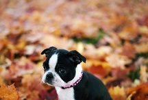Pets and Favorite animals / As you soon will see I have a thing for Boston Terriers. BUT I love all animals. / by Sue Ellen Crabb