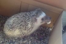 The Great Adventures of Houdini the Hedgehog / Our Classroom Pet- The Hedgehog