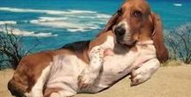 "Basset are Body Pillows / ""To err is human, to forgive, canine"" ~ Anonymous"