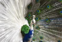 Mystical Peacocks! / by Kathy Cruz