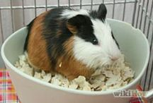 BUBBLES & MUFFIN / Bubbles and Muffin are the cutie piggies that bless our family!