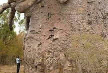in awe of trees, baobabs & more / ideas which inspire my drawings and paintings of Africa's iconic baobab trees