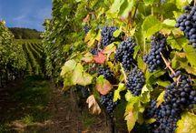 Viniculture / by Susan Dunsmuir