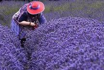 It's all Lavender