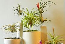 AIR PLANT CARE / How to care for these beauties! / by Mary Therese Griffin