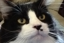 Tuxedo Cats / the smartest and best cats ever / by Jennifer Henderson