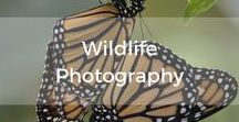 Wildlife Photography / Wildlife photography tips and where to find wildlife in the UK.  Fieldcraft and behaviour helps with photography.  Some skills are specific to wildlife photography.