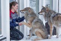 My friend the wolf ❤️