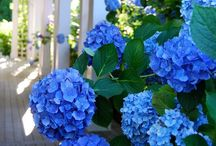 Heavenly Hydrangeas / Hydrangeas! / by Cynthia Reece (The Tattered Chair)