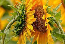 Sunflowers! / Sunflowers / by Cynthia Reece