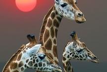 I Love Giraffes! I really do!