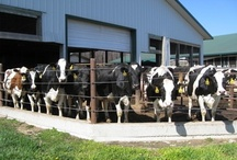 Our Cows / Meet the ladies at our dairy.
