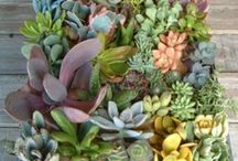 janbopita Gardening and succulents / Gardening, succulents, lovin'  the outside / by Janice Powell