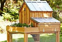 Backyard Chickens / Backyard Chicken's: Here you will find Ideas for Beginners for Coops, Breeds, Raising and Feeding those great Chickens in your Backyard!
