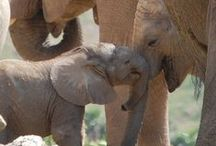 Elephant Love / All things elephants.
