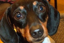 Doxie Love & More / by Paula Smith