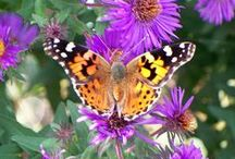 Painted Lady Butterflies / Insect Lore's Favorite Butterfly! / by Insect Lore