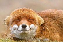 Foxy box