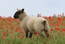 These sheep right? / Lovely sheep.  In pics.  'Nuff said.