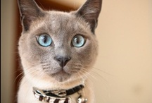 jazzy / our meow #2: friendly tonkinese
