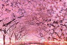 Cherry Blossoms 桜の景色 / 桜の咲き誇る景色、華やかな美しさ、日本人が愛してやまない桜を沢山の人に☺️