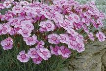 Family Caryophyllaceae / Caryophyllaceae, the pink, or carnation, family of flowering plants (order Caryophyllales), comprising some 86 genera and 2,200 species of herbaceous annuals and perennials, mainly of north temperate distribution.  / by ~ PW. Ragont ~