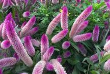 Family Amaranthaceae / Amaranthaceae, the amaranth family of flowering plants in the order Caryophyllales, with about 60 genera and more than 800 species of herbs, with a few shrubs, trees, and vines, native to tropical America and Africa.  / by ~ PW. Ragont ~