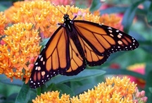 All things Monarch!!! / by Mark & Janine McReynolds
