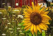 Sunflowers......the happy flower!