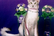 Cats I Admire / Stunning Group 2 (Siamese, Oriental LH/SH, Balinese and Foreign White LH/SH) cats from around the world.