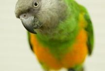 Soco ♡ & Friends | Senegal Parrot