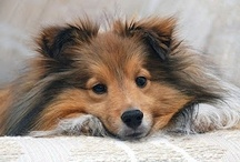 """⊰AKC Sℎℯtℓand   Sℎℯℯpdogs⊱ / The Shetland Sheepdog: Known as """"Miniture Collies"""", or Shelties"""