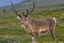 Animals of North / Photos and videos about animals of Lapland and Finland