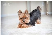 Doggies | Yorkies